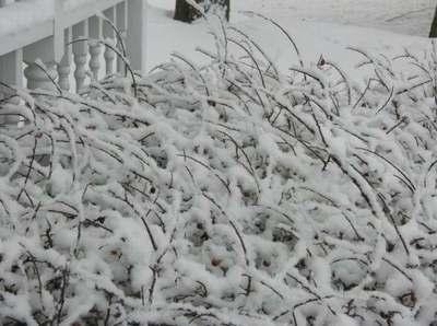 Snowybush